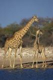 Giraffe, Giraffa camelopardalis Royalty Free Stock Photography