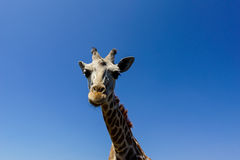 Giraffe (Giraffa camelopardalis) Stock Photography