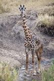 Giraffe (Giraffa camelopardalis) and Yellow billed oxpecker (Buphagus africanus) Stock Photos