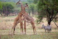 Giraffe (Giraffa camelopardalis) and zebra (Equus burchellii) Royalty Free Stock Photography