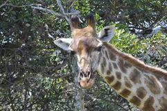 The giraffe. Giraffa is a genus of African even-toed ungulate mammals, the tallest living terrestrial animals and the largest ruminants. The genus currently royalty free stock photo