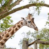 Head and neck of an adult african giraffe royalty free stock photo