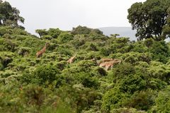 The giraffe Giraffe in Ngorongoro Conservation Area. The giraffe Giraffa, genus of African even-toed ungulate mammals, the tallest living terrestrial animals and Royalty Free Stock Image