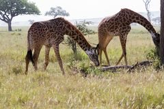Giraffe Giraffa in Serengeti National Park. The giraffe Giraffa, genus of African even-toed ungulate mammals, the tallest living terrestrial animals and the Royalty Free Stock Images