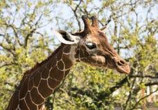 Giraffe Giraffa. In front of trees Stock Image