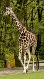 Giraffe Giraffa. In front of trees Royalty Free Stock Images