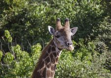 Giraffe or Giraffa, head facing camera. With green foliage in background. Kruger National Park. South Africa Stock Images
