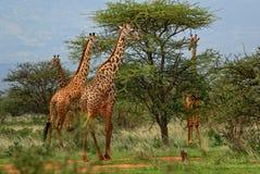 Giraffe - Giraffa, Kenya, Africa. Giraffes in savanna, Tsavo Africa stock image