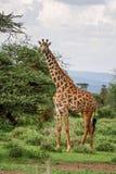 Giraffe - Giraffa, Kenya, Africa. Giraffe in savanna, Tsavo Africa royalty free stock images