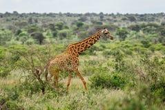 Giraffe - Giraffa, Kenya, Africa. Giraffe in savanna, Tsavo Africa stock photos