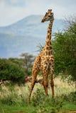 Giraffe - Giraffa, Kenya, Africa. Giraffe in savanna, Tsavo Africa stock photography