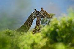 Giraffe - Giraffa, Kenya, Africa. Giraffe in savanna, Tsavo Africa royalty free stock image