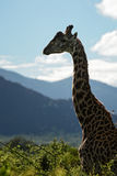 Giraffe - Giraffa, Kenya, Africa. Giraffe silhouette in evening light, Tsavo Africa Stock Images