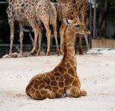 Giraffe Or Giraffa Species Royalty Free Stock Image