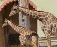 Giraffe Or Giraffa Species. In enclosure at Lisbon Zoo Lisbon Portugal Royalty Free Stock Images