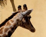 Giraffe Or Giraffa Species. In enclosure at Lisbon Zoo Lisbon Portugal Stock Image