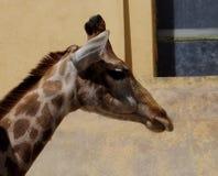 Giraffe Or Giraffa Species. In enclosure at Lisbon Zoo Lisbon Portugal Royalty Free Stock Image