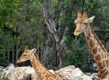Giraffe Or Giraffa Species. In enclosure at Lisbon Zoo Lisbon Portugal Stock Photography