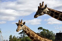 The giraffe Giraffa two Giraffe waiting for food lovers. These two Giraffe are waiting for food head shot only blue sky background Royalty Free Stock Photo