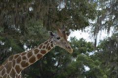 Giraffe Giraffe στο αγρόκτημα στην πόλη Dade, Φλώριδα Στοκ Φωτογραφία