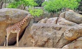 Giraffe royalty free stock photography