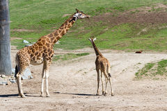 Giraffe - giraffe camelopardalis Stock Photo