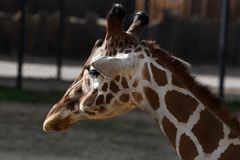 Giraffe. The giraffe is a genus of African even-toed ungulate mammals, the tallest living terrestrial animals and the largest ruminants. The genus currently royalty free stock photography