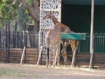 Giraffe. Manor at Zoo , Giza Cairo Egypt Royalty Free Stock Photos
