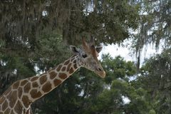 Giraffe at Giraffe Ranch in Dade City, Florida. Stock Photography