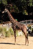 Giraffe. Giriffe at the Los Angeles Zoo Stock Images