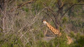 Wild Giraffe Goes Through The Bush In Africa