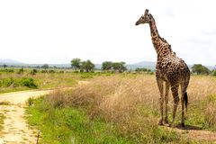 Giraffe goes near the road in savanna Royalty Free Stock Images