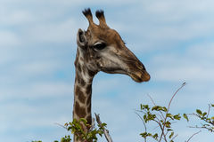 Giraffe going for leafs on tree Royalty Free Stock Photography
