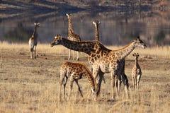 Giraffe going left going right Royalty Free Stock Photos