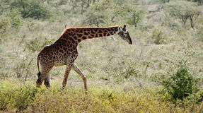 The giraffe going on savanna Stock Photo