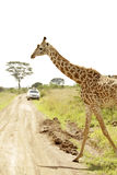 Giraffe going for a stroll Royalty Free Stock Photography