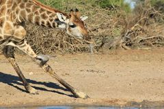 Giraffe - Golden Black Cow and Dove Stock Image