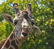 giraffe goofy Arkivfoto