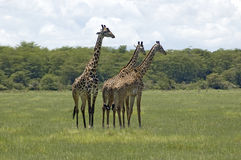 Giraffe in the grass Royalty Free Stock Photography