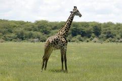 Giraffe in the grass Stock Photos