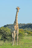 Giraffe in grass and acacia field Royalty Free Stock Image