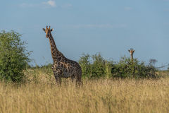 Giraffe in grass with baby behind bush Royalty Free Stock Photography