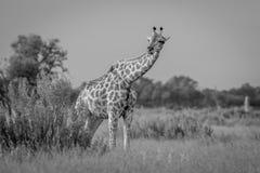 Giraffe in the grass in black and white. Stock Photo