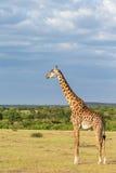 Giraffe at the grass savannah Stock Photo