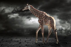 Giraffe on a gray background Royalty Free Stock Images