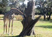 Giraffe Beside Gray Dead Tree stock photo