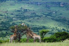 Giraffe grazing Stock Images