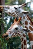 Giraffe grazing Royalty Free Stock Image