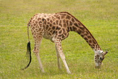 Giraffe grazing Stock Photos