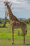 Giraffe grazing Royalty Free Stock Images